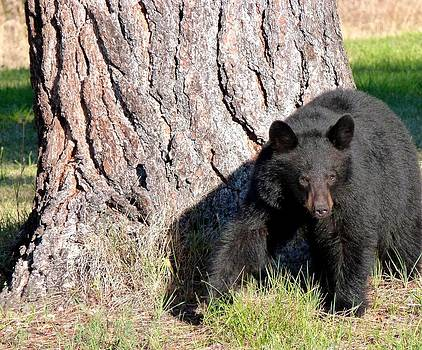 Black Bear 4 by Will Borden