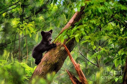 Dan Friend - Black bear cub climbing in tree and looking around  - artistic