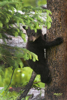 Black bear cub by Don Anderson