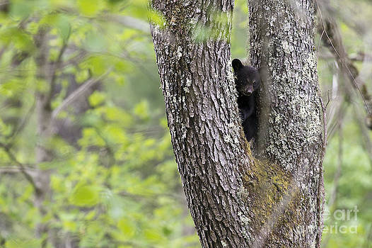 Dan Friend - Black bear cub in fork of tree