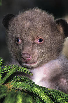 Dave Welling - Black Bear Cub Portrait Wildlife Rescue