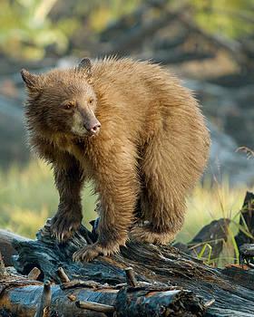 Black Bear by Doug Herr