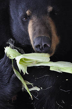 Black Bear Feeding on Corn by Jes Fritze