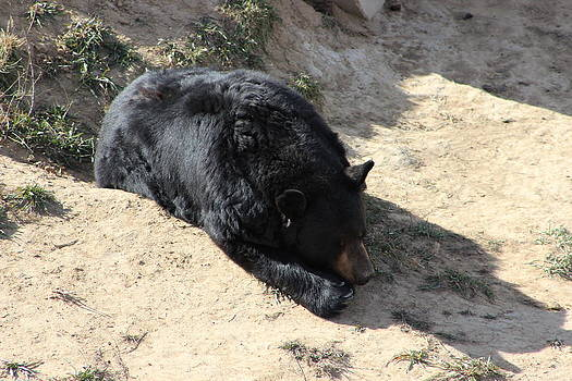 Black Bear by Kim Baker