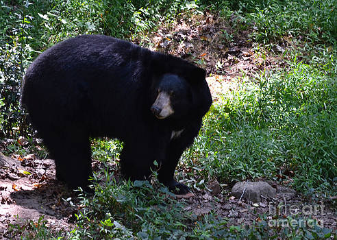 Black Bear Listening by Eva Thomas