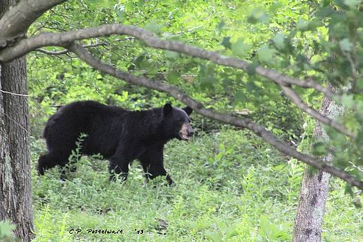 Black Bear on the Move by Carolyn Postelwait