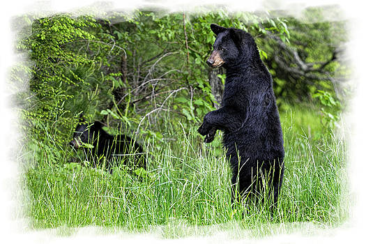 Dan Friend - Black Bear standing upright