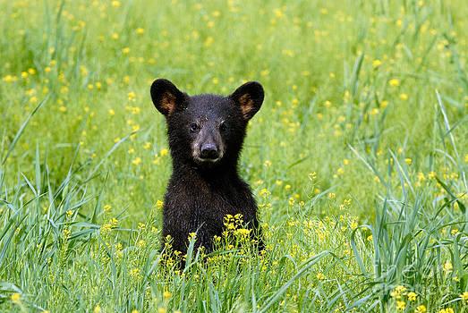 Stephen J Krasemann - Black Bear