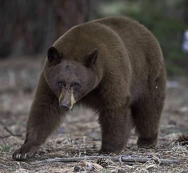 Black Bear by Tom Wilbert