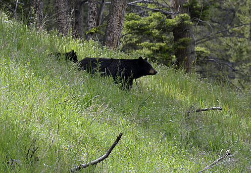 Black Bear with Cub Symetrical on Hillside by Bruce Gourley