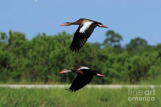 Black-bellied Whistling Ducks by Jennifer Zelik