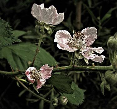 Black Berry Blossoms by Elery Oxford