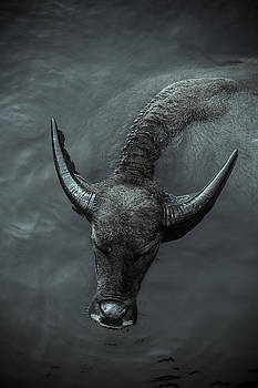 Black Buffalo by Soren Egeberg