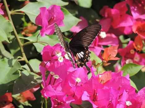 Black butterflies on boganvalia by Ramesh Chand