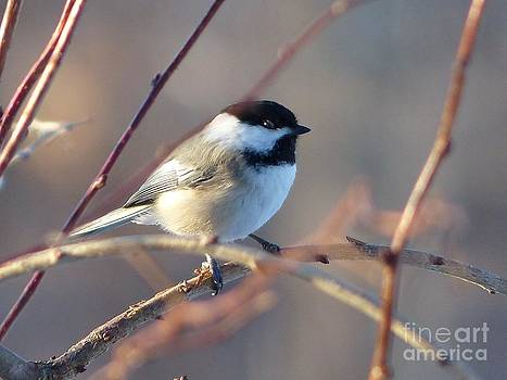 Christine Stack - Black-Capped Chickadee