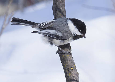 Black Capped Chickadee by Gerald Murray Photography