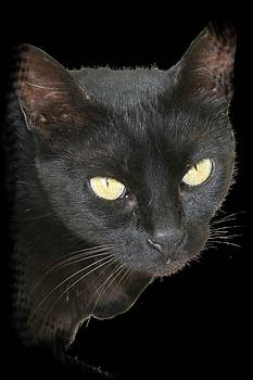 Tracey Harrington-Simpson - Black Cat Isolated on Black Background