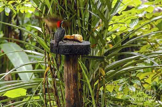 Bob Phillips - Black-cheeked Woodpecker