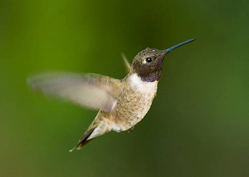 Black-chinned Hummingbird by Doug Herr