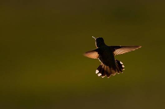 Eric Rundle - Black Chinned Hummingbird