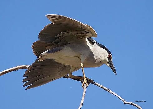 Black Crowned Night Heron Hanging On by Stephen  Johnson