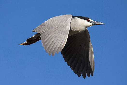 Black Crowned Night Heron by John Rockwood