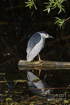 Tim Moore - Black-crowned Night Heron