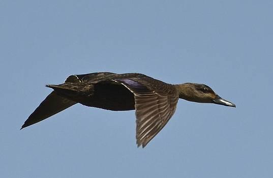 Black Duck in flight by Lorelei Galardi