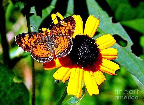 Black Eye Susan Butterfly Beauty by Jack  Martin