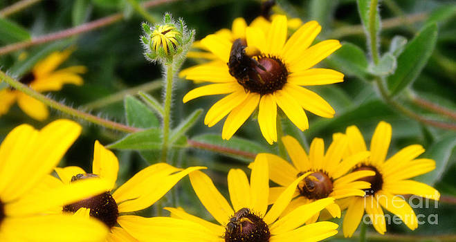 Black Eyed Susan and Bees by Eva Thomas