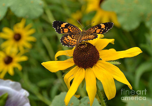 Black Eyed Susan and Butterfly by Eva Thomas
