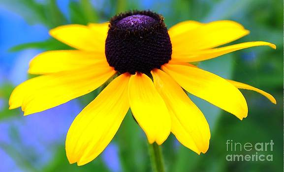 Black Eyed Susan by Judy Palkimas
