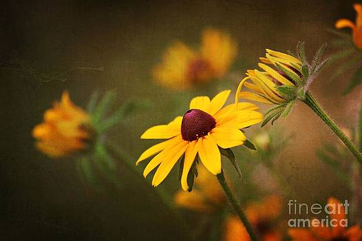 Black-eyed Susan by Lauren Maki