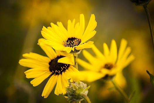 California Sunflowers by Nazeem Sheik