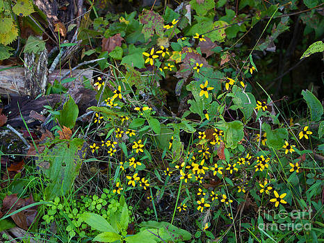 Black Eyed Susans by Janet Felts
