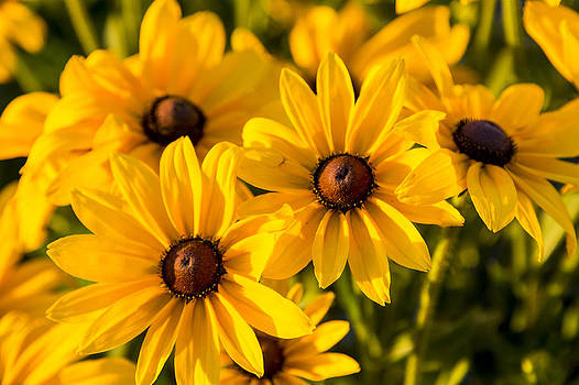Black Eyed Susan's Sisters by Gerald Murray Photography