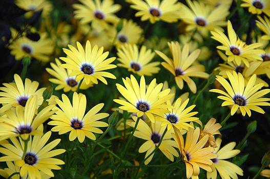Black Eyed Susans by Thomas Taylor