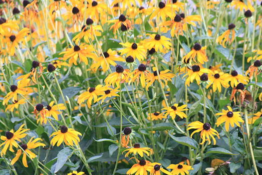 Black Eyed Susans by Tiffany Vest