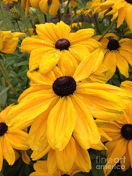 Black Eyed Susans by Barbara Von Pagel