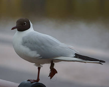 Evgeny Lutsko - Black-headed Gull