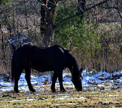 Black Horse Grazing by Eva Thomas