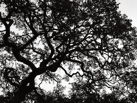 Marilyn Hunt - Black Jack Oak Tree