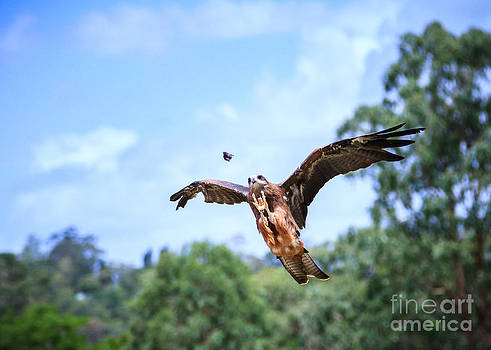 Black Kite Hunting by Silken Photography