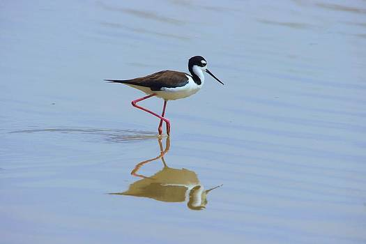 Black Necked Stilt by David Rizzo