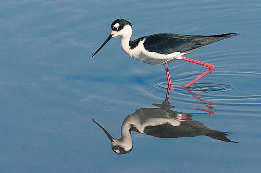 Black-necked stilt - Huntington Beach California by Ram Vasudev