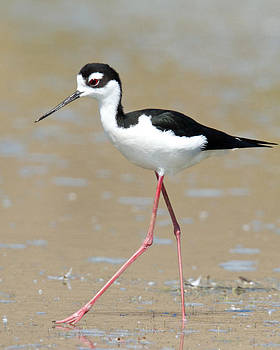 Black-necked Stilt by Steve Kaye