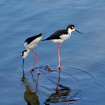 Black-Necked Stilts by Bob and Jan Shriner
