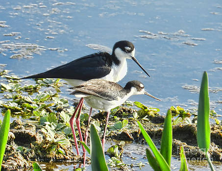 Grace Dillon - Black-necked Stilts