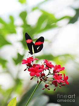 Black Red with Yellow Butterfly  by Beauty Balance Design