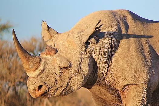 Hermanus A Alberts - Black Rhino Bull from Africa